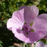 512px-Althaea_officinalis_'Marsh_Mallow'_(Malvaceae)_flower